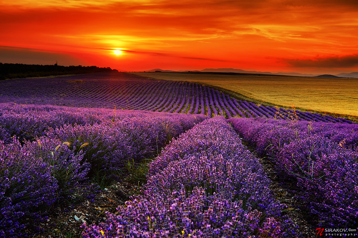 Photograph Lavender Fields by Nikolay Sirakov on 500px