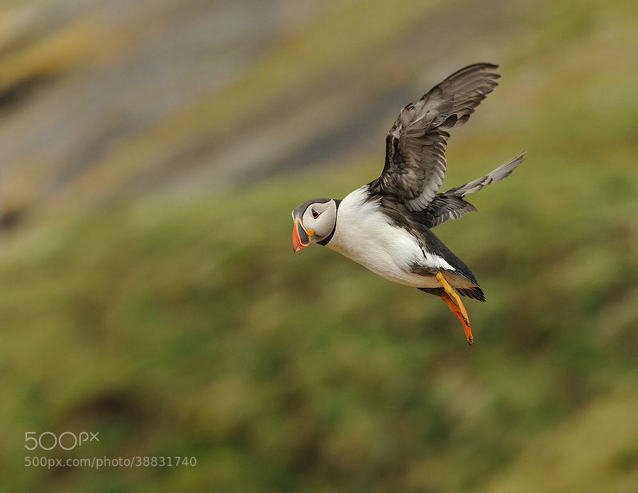Photograph Skomer Puffin in flight by Geoffrey Baker on 500px