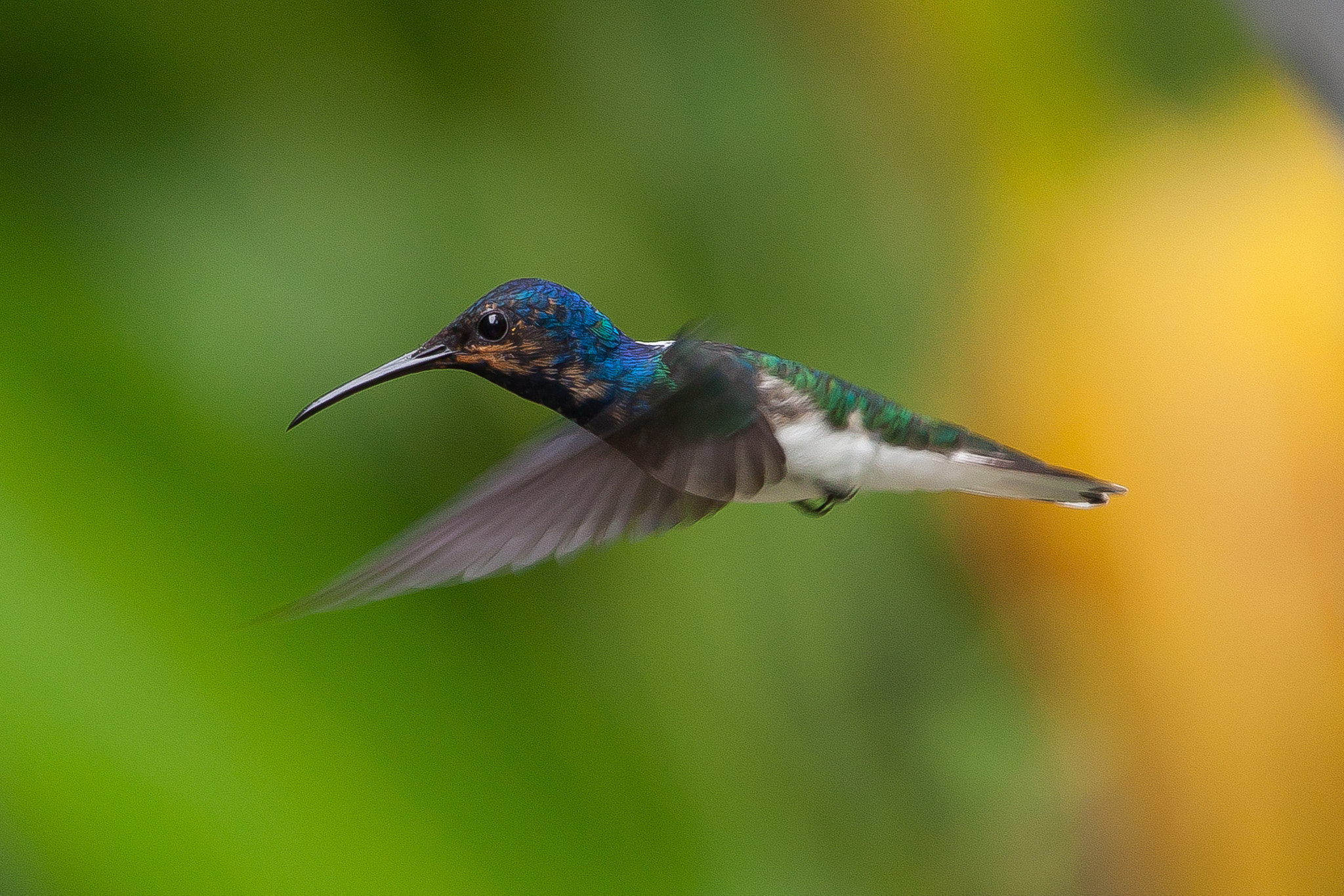 Photograph White-necked Jacobin by Dean Bedding on 500px