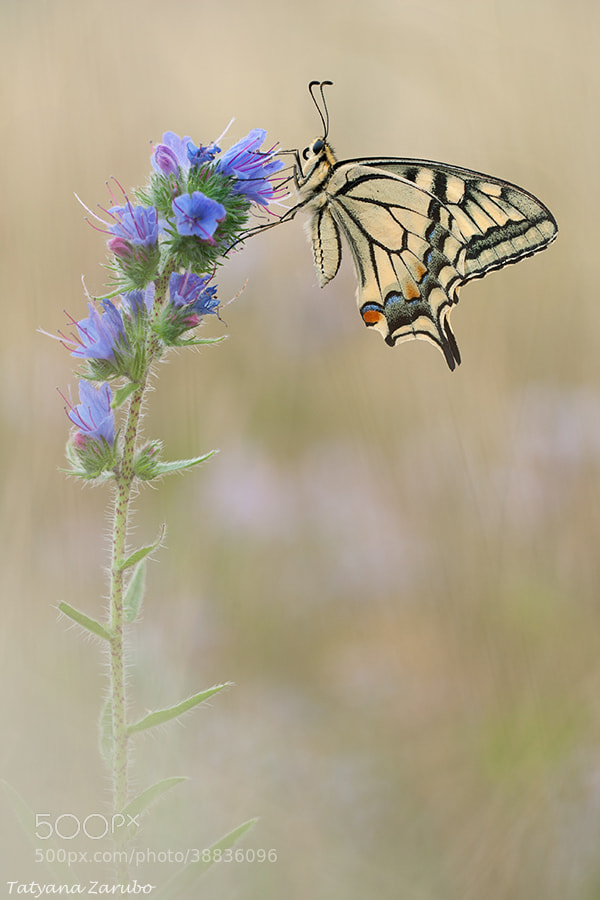 Photograph Swallowtail in pastel tones by Tatyana Zarubo on 500px