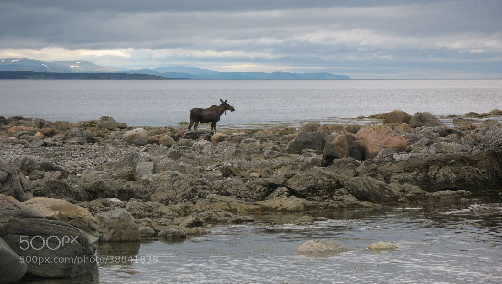 Photograph Broom Point Moose by Heather Baker on 500px