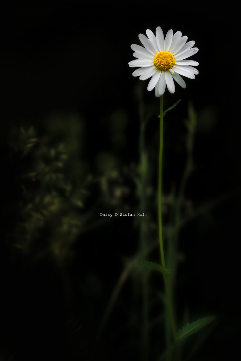 Photograph Daisy against dark background by Stefan Holm on 500px