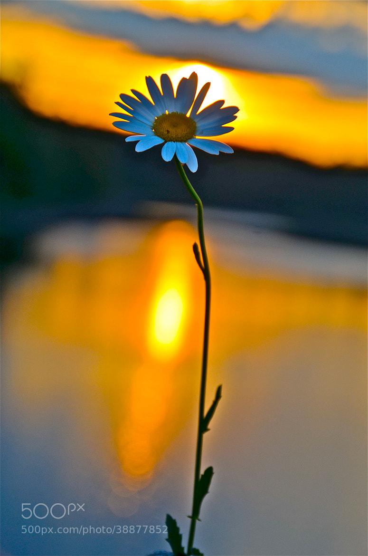 Photograph Sunset daisy  by Diana Zlamalik on 500px