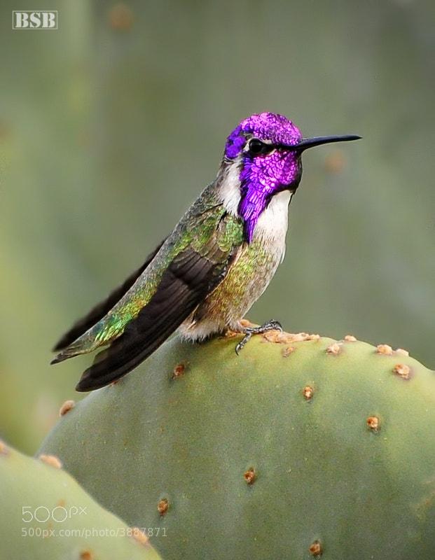 Photograph Costa's Hummingbird by Björn Burton on 500px