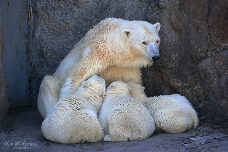 Photograph Feeding mother of polar bear with her cubs by Olga Gladysheva on 500px