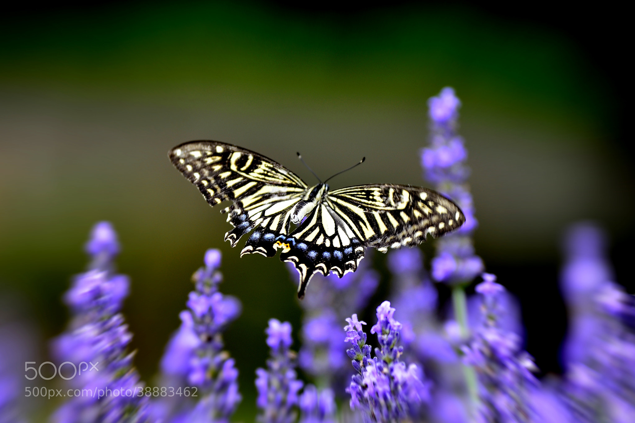 Photograph Flying Swallowtail Butterfly by Yokai Catchlight on 500px