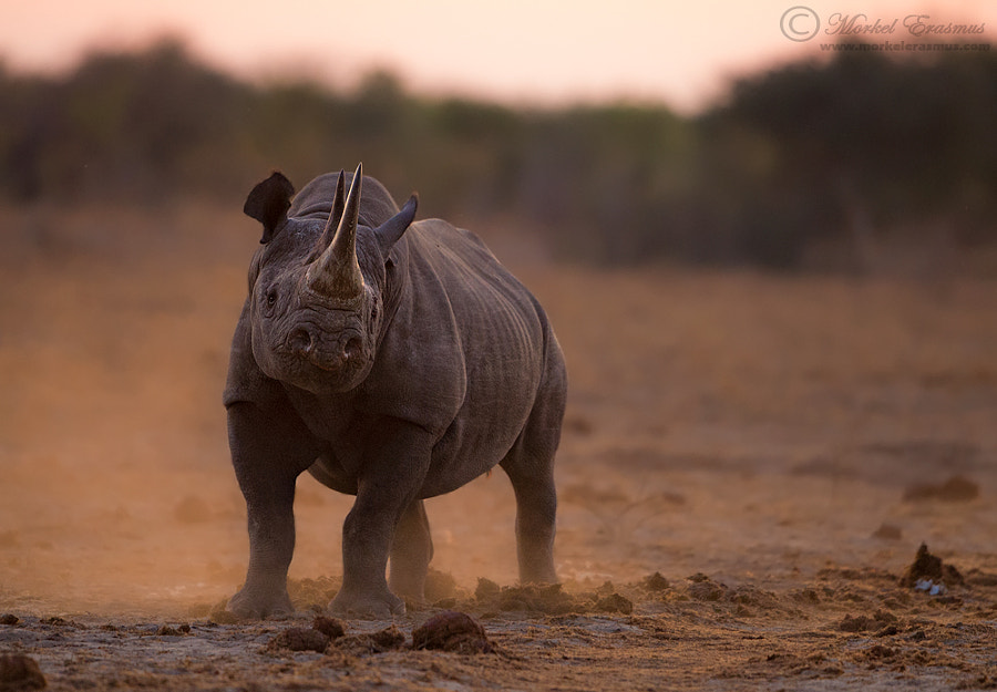 Proud Rhino by Morkel Erasmus on 500px.com