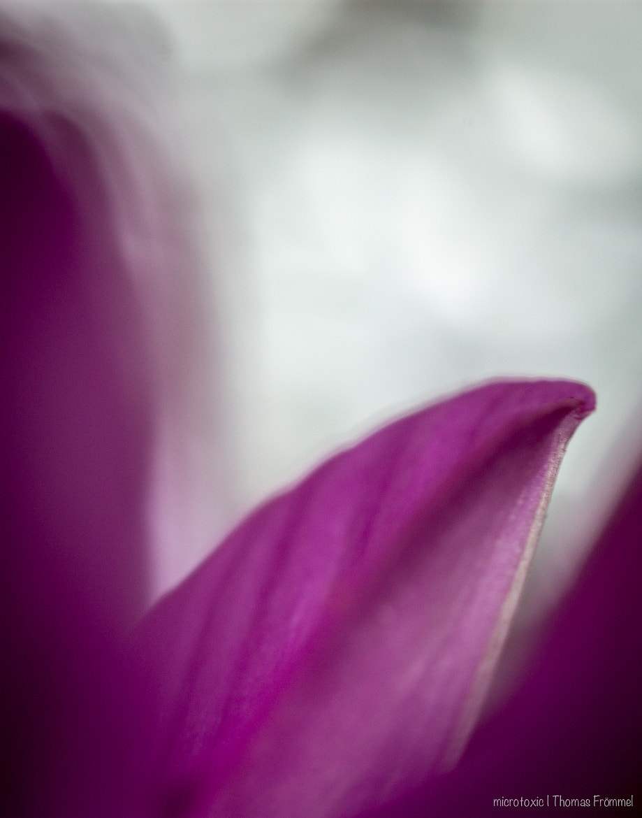 Photograph magnolia by Thomas Frömmel on 500px