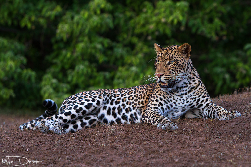 Photograph Young Male Leopard by Mike Dexter on 500px