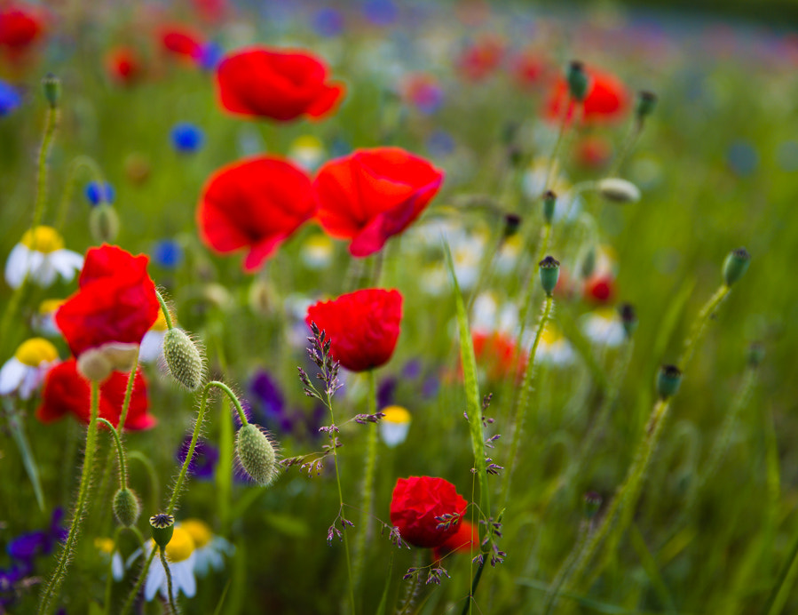 Photograph Flowers in Monte Sibilini National Park by Hans Kruse on 500px