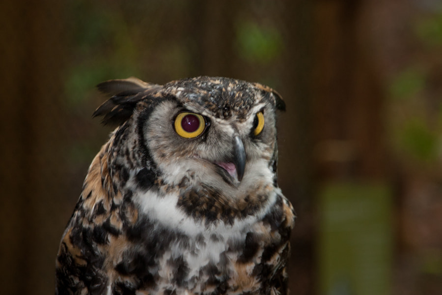 Photograph Owl by Damyan Petkov on 500px