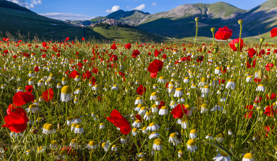 Photograph Castelluccio in flowers by Hans Kruse on 500px