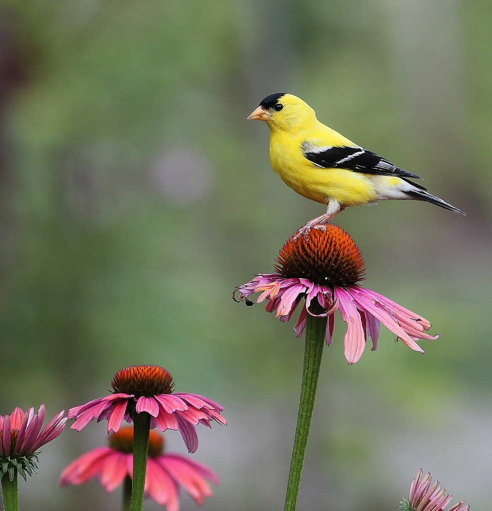 Photograph Goldfinch enjoying the view  by Paul Wyman on 500px