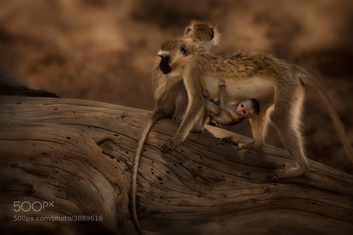 Photograph Monkeys by Diego  Arroyo on 500px