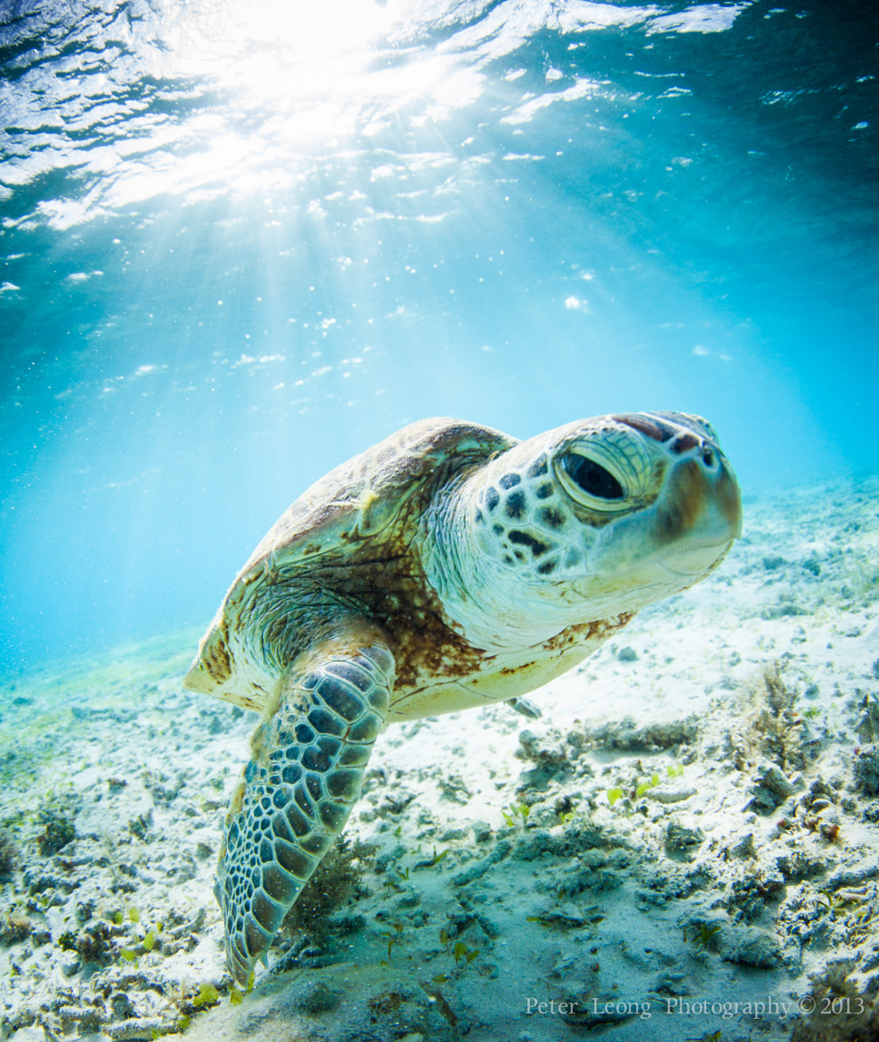 Photograph Young Okinawan Sea Turtle by Pete Leong on 500px