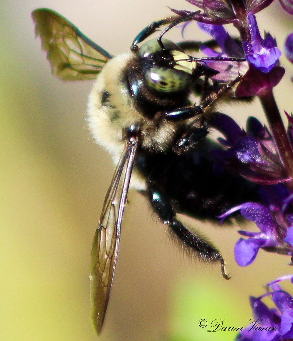 Photograph Eye of the Bumble Bee by Dawn Vance on 500px