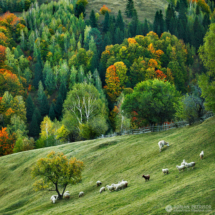Photograph The black sheep by Adrian Petrisor on 500px