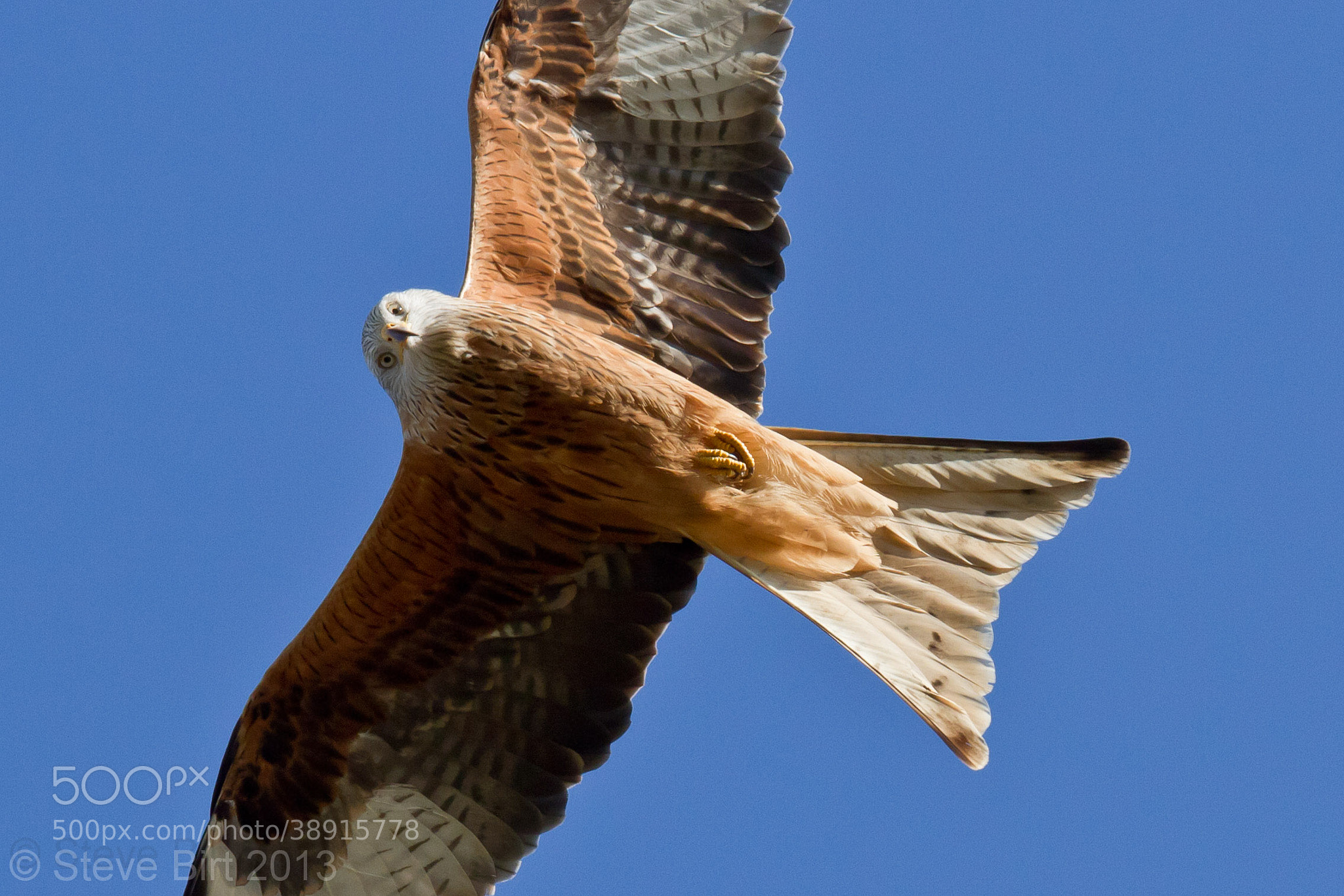 Photograph Red Kite by Steve Birt on 500px