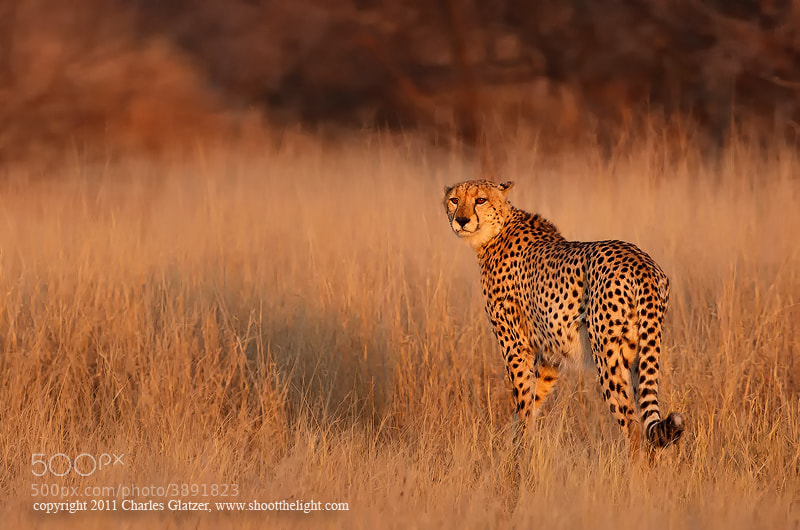 Photograph Cheetah at sunrise by Charles Glatzer on 500px