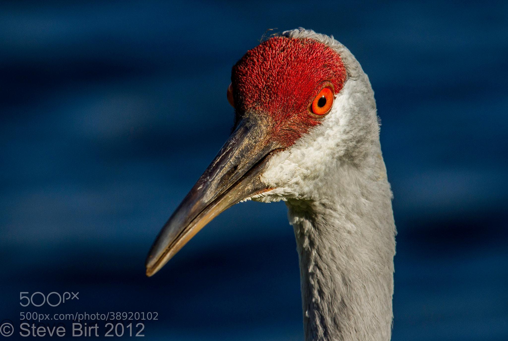 Photograph Sandhill Crane by Steve Birt on 500px
