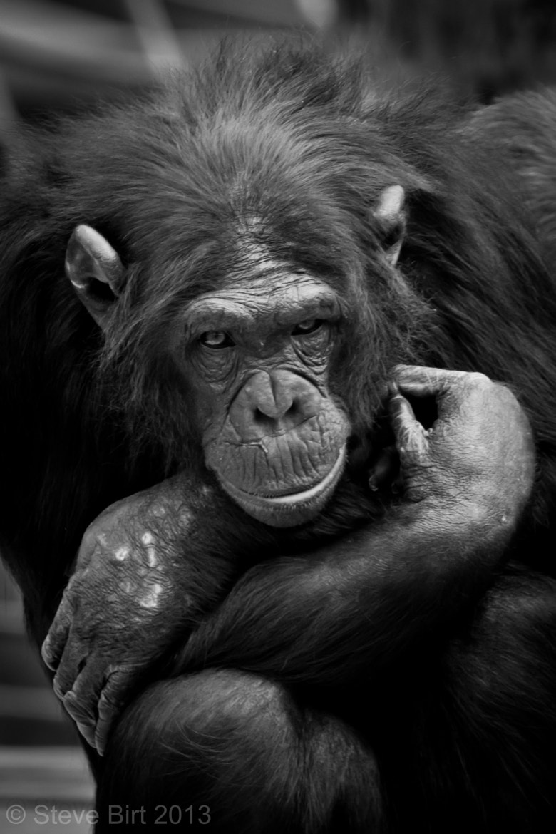 Photograph Chimpanzee by Steve Birt on 500px