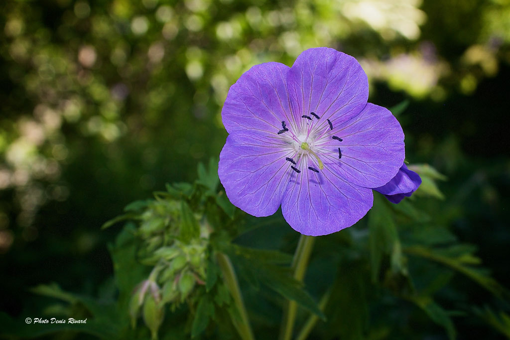 Photograph Meadow Cranesbill by Denis Rivard on 500px