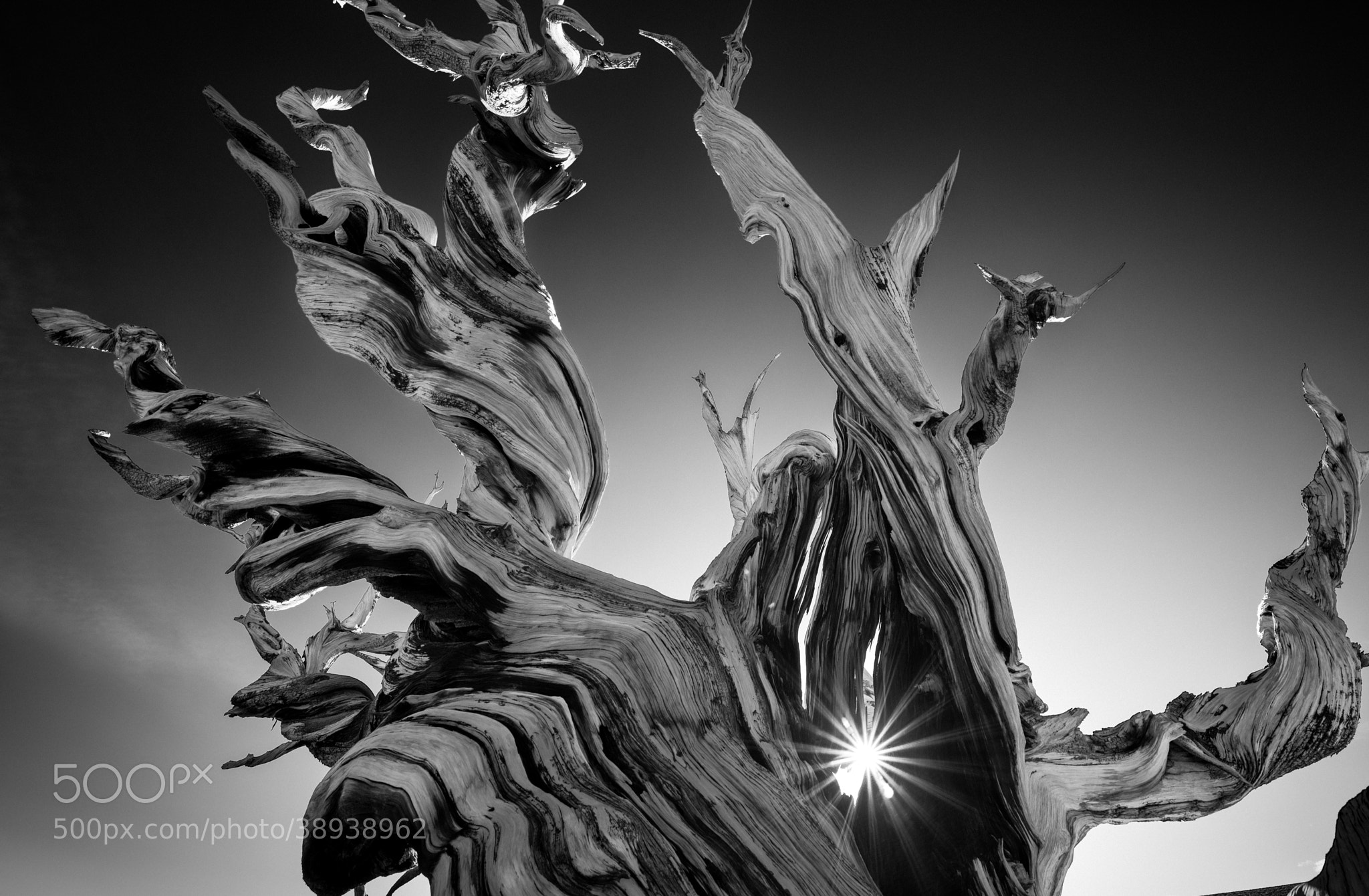Photograph Ancient Bristlecone  by Keith Skelton on 500px