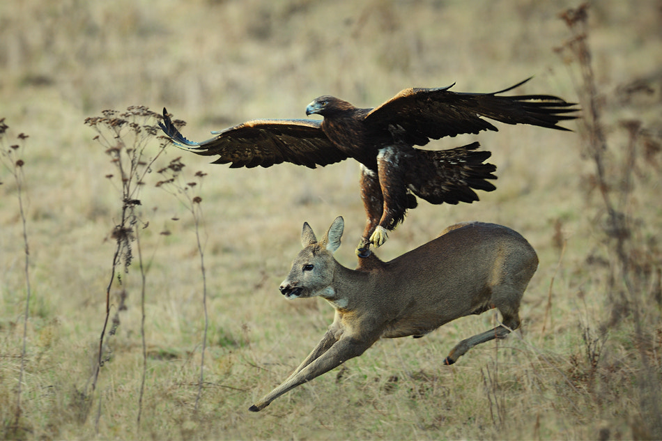 Photograph Eagle catching doe by Milan Krasula on 500px