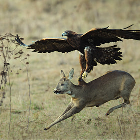 Eagle catching doe by Milan Krasula (Kalidor)) on 500px.com