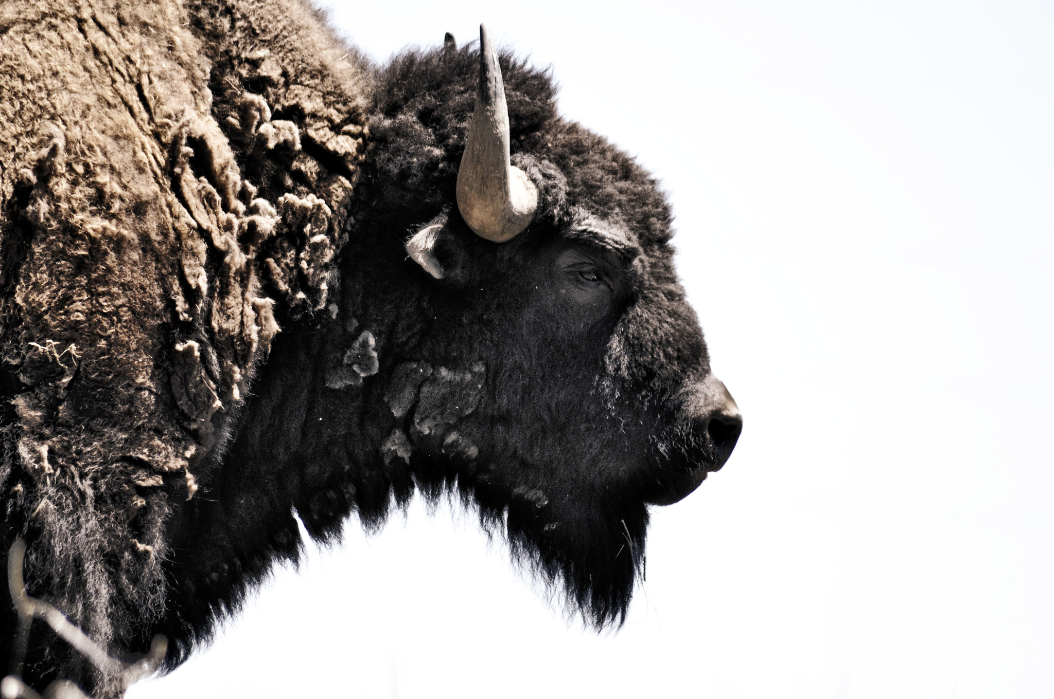 Photograph Bison by Enoxh Eloe on 500px