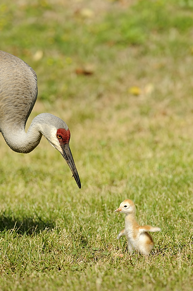 Photograph Sandhill crane chick by Derek Watt on 500px