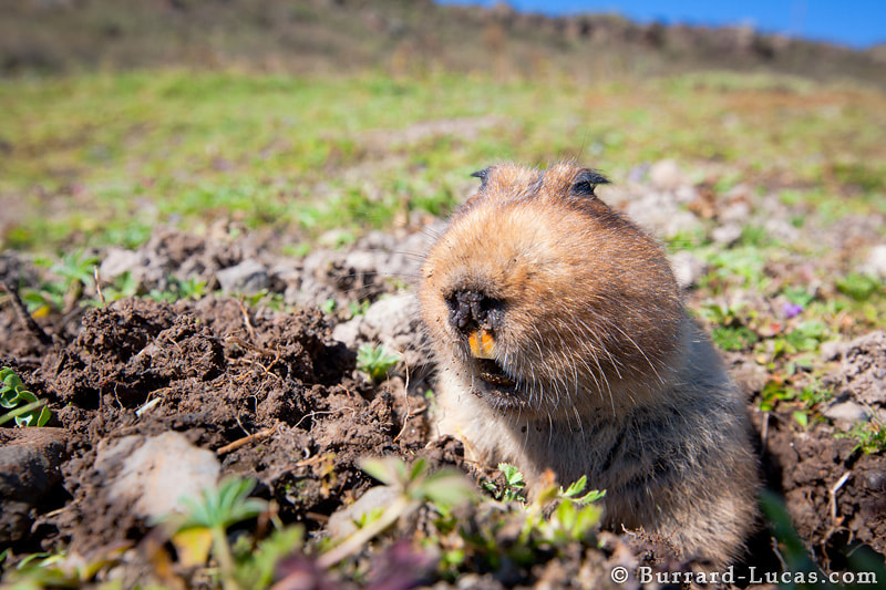 """A giant mole rat emerges from its hole, and carefully eyes the surroundings for predators. Giant mole rats are endemic to the Bale Mountains and they are the Ethiopian Wolves' primary prey. In the afro-alpine habitat they can be astonishingly abundant, reaching densities of up to 2,600 individuals per square kilometre!  This is a photo that I became completely obsessed with getting. Every day for five days I would spend hours patiently positioning my camera close to mole rat holes and then waiting in the distance with my wireless shutter release poised, willing a mole rat to stick its head above the parapet. Usually the mole rat would have more patience than me and I would eventually give up and move the camera. With the camera gone, the mole rat would typically appear within 10 minutes and nonchalantly recommence feeding on the vegetation around its hole. On occasion, a particularly tricky mole rat would shove earth up from below to fill in the opening of its hole, ensuring I got the message that my camera wasn't welcome! I think mole rats may be the most infuriating creatures I have ever attempted to photograph!  Still, having invested so much time in trying to get the shot, I stubbornly persevered… I couldn't let the mole rats win! I gradually habituated one particular individual and eventually I managed to get several close-up shots with the wide-angle lens :)  - <a href=""""http://www.ethiopianwolfproject.com/"""">Ethiopian Wolf Project</a>"""