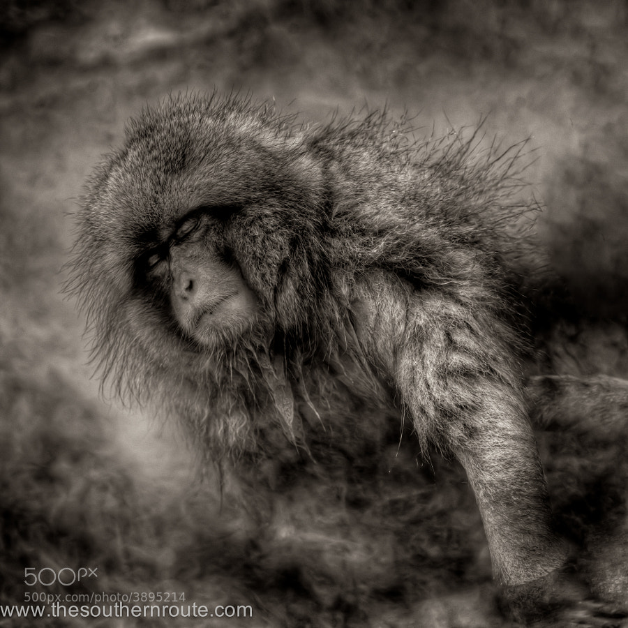 Photograph Shakespearian monkey by regis boileau on 500px