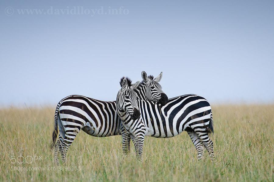Photograph Zebra Pair by David Lloyd on 500px