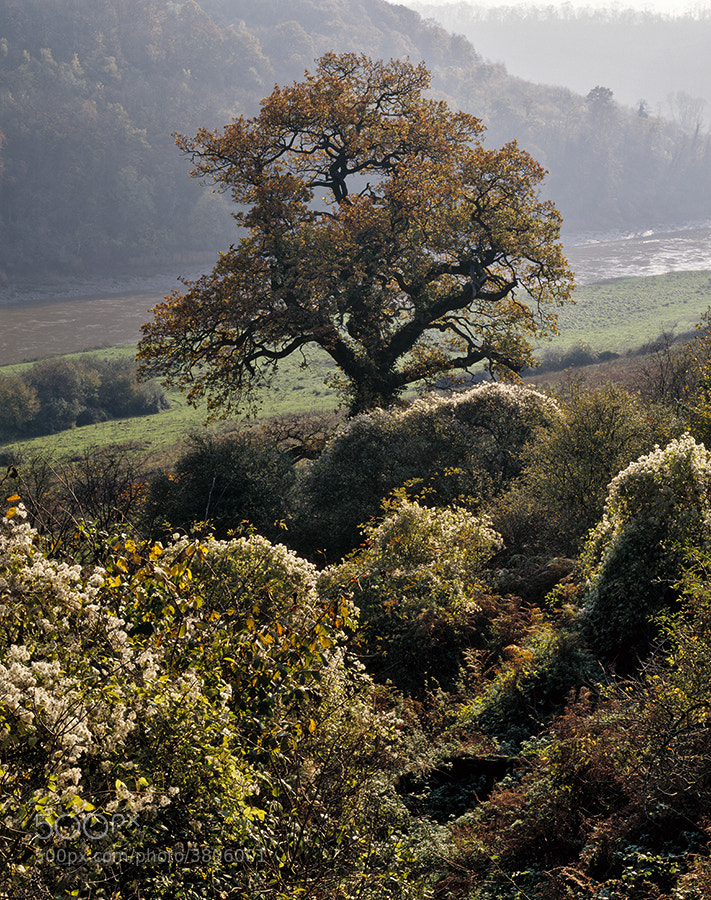 Oak tree and Old Man's Beard in the Wye Valley in autumn.
