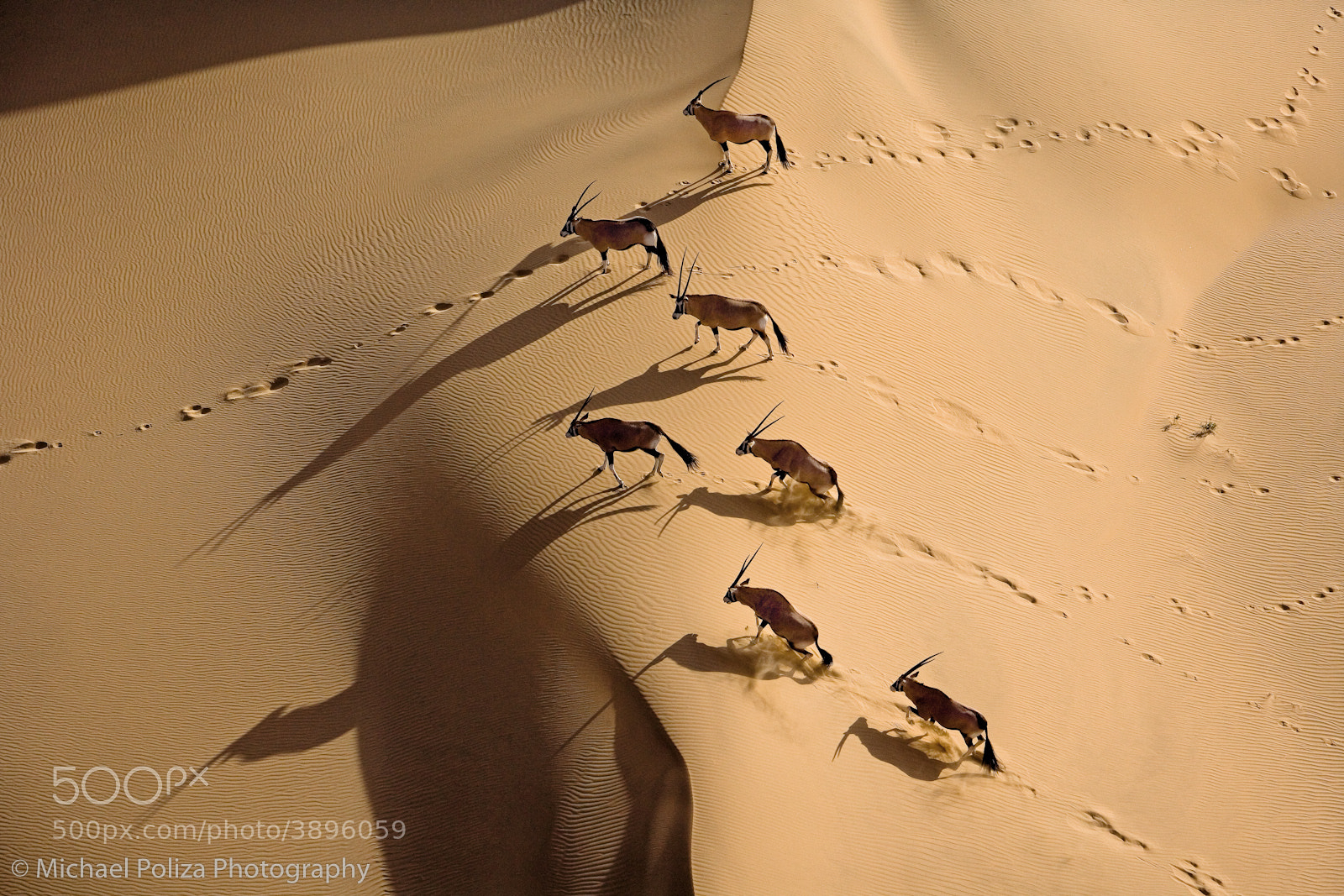 Photograph Gemsbok Herd by Michael Poliza on 500px