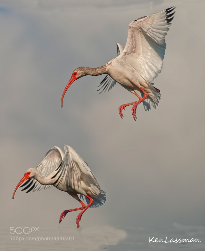 Adult White Ibis being followed to the landing by the Juvenile