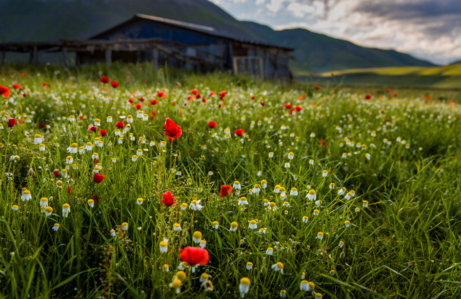 Photograph Morning light with poppies by Hans Kruse on 500px