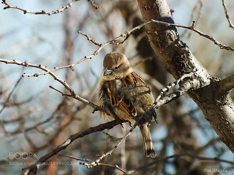 Photograph Sparrow by mada dm on 500px