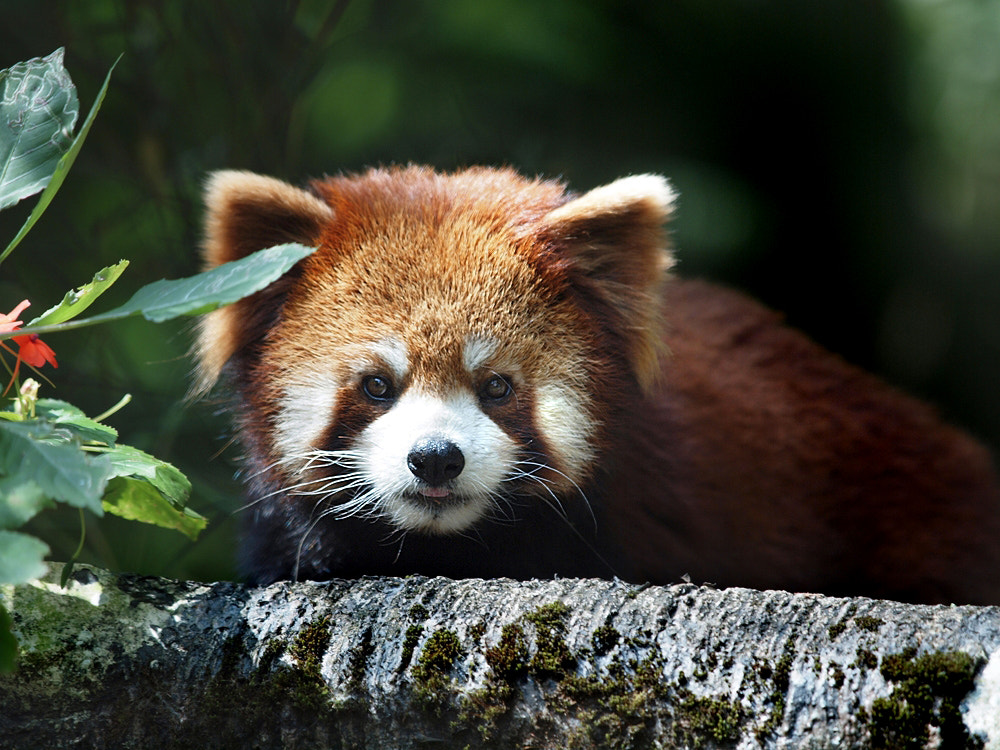 Photograph red panda by Irawan Subingar on 500px