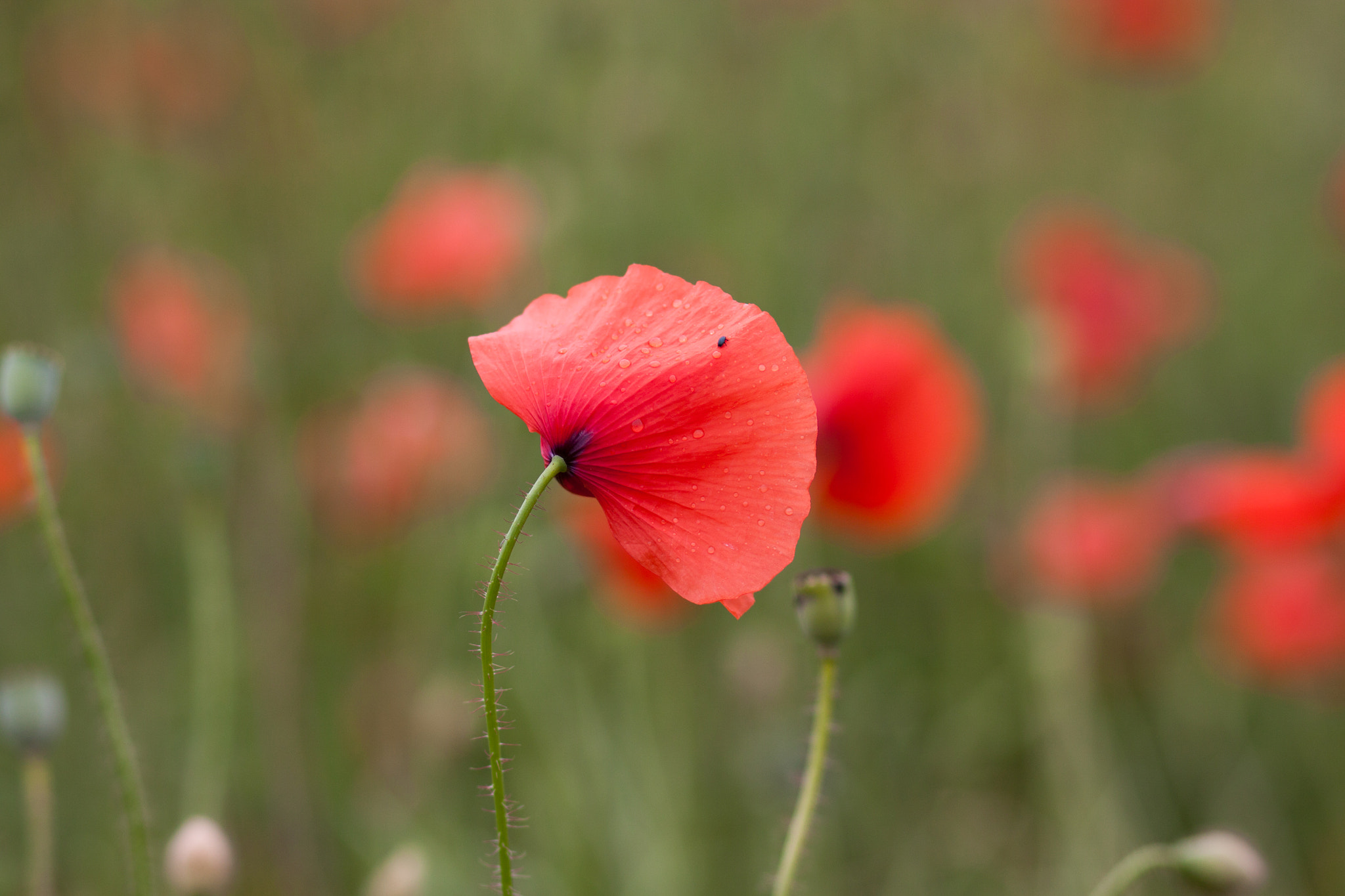 Photograph poppy by Andrea Schunert on 500px