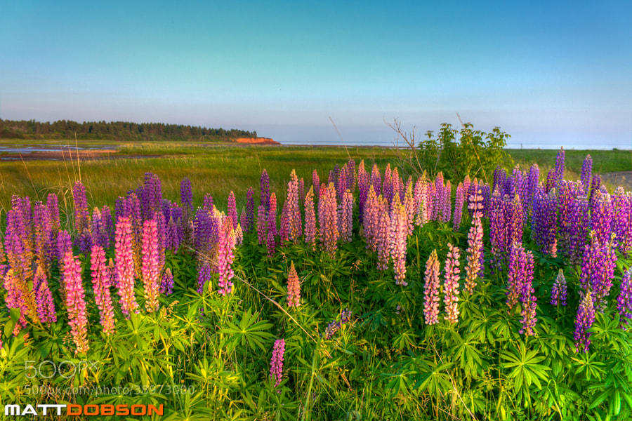 Photograph Evening Lupins by Matt Dobson on 500px