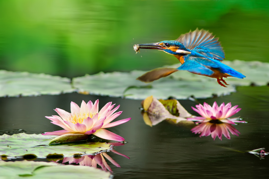 kingfisher flight and lotus, автор — FuYi Chen на 500px.com