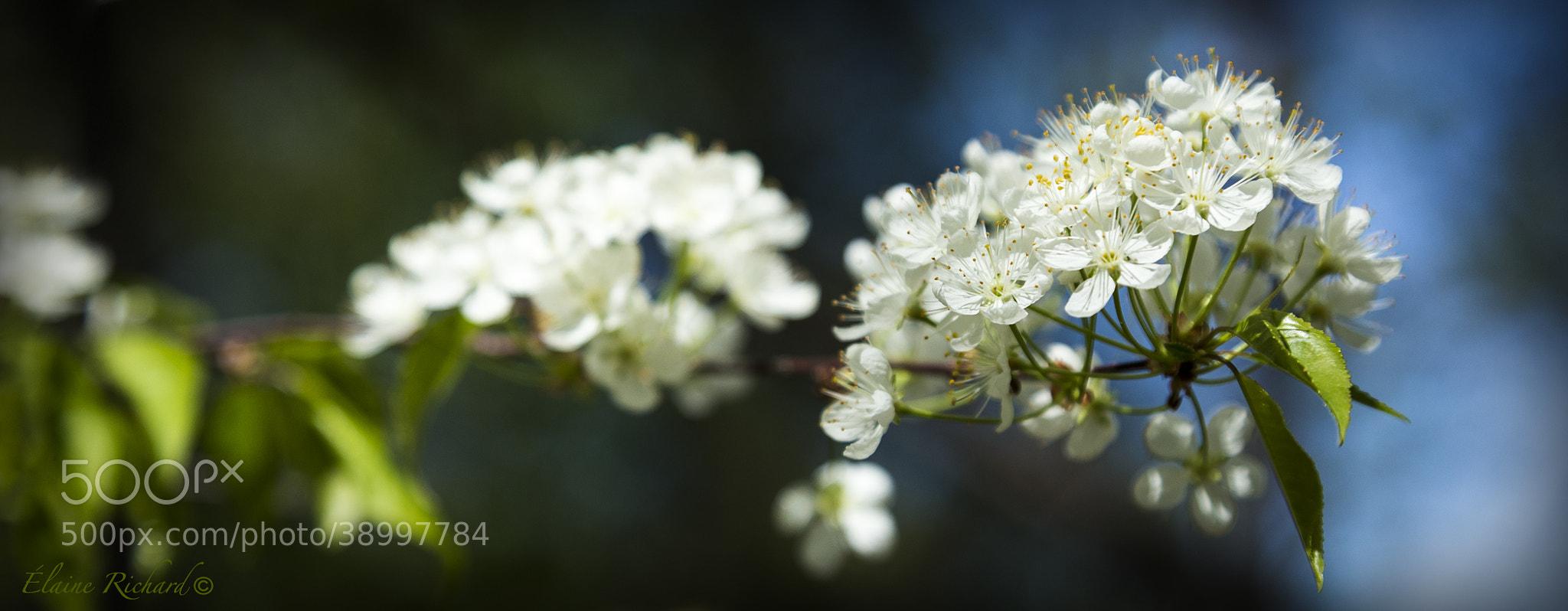 Photograph Pommiers du printemps by Elaine Richard on 500px