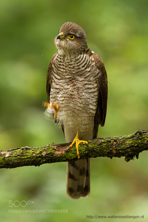 Photograph Aurasian Sparrowhawk by Walter Soestbergen on 500px
