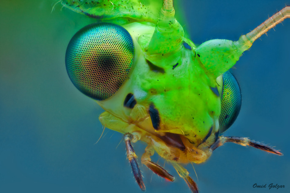 Photograph Green lacewing by Omid Golzar on 500px