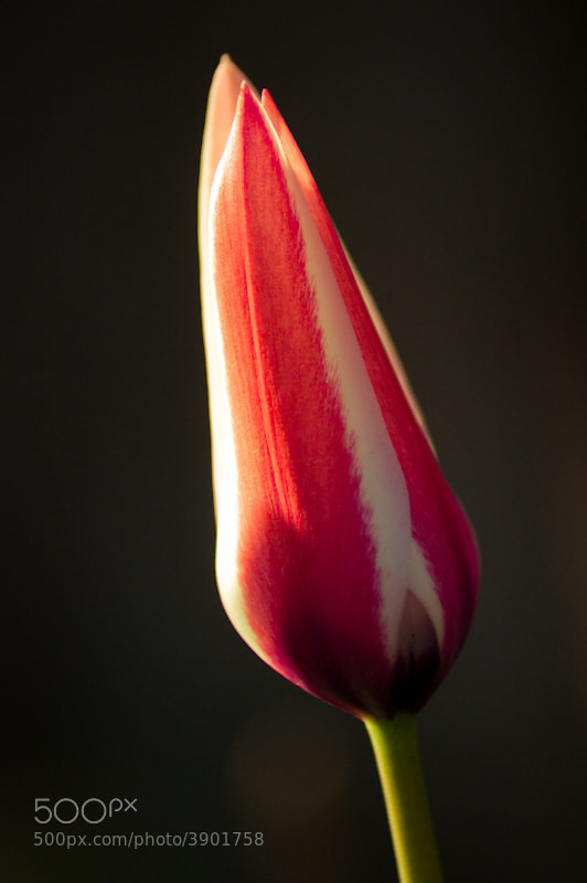 Photograph Tulip by GlassEyeBob  on 500px