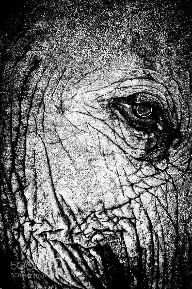 "Photograph Eyes on Africa ( the ""Elephant"") by Nicole Cambré on 500px"