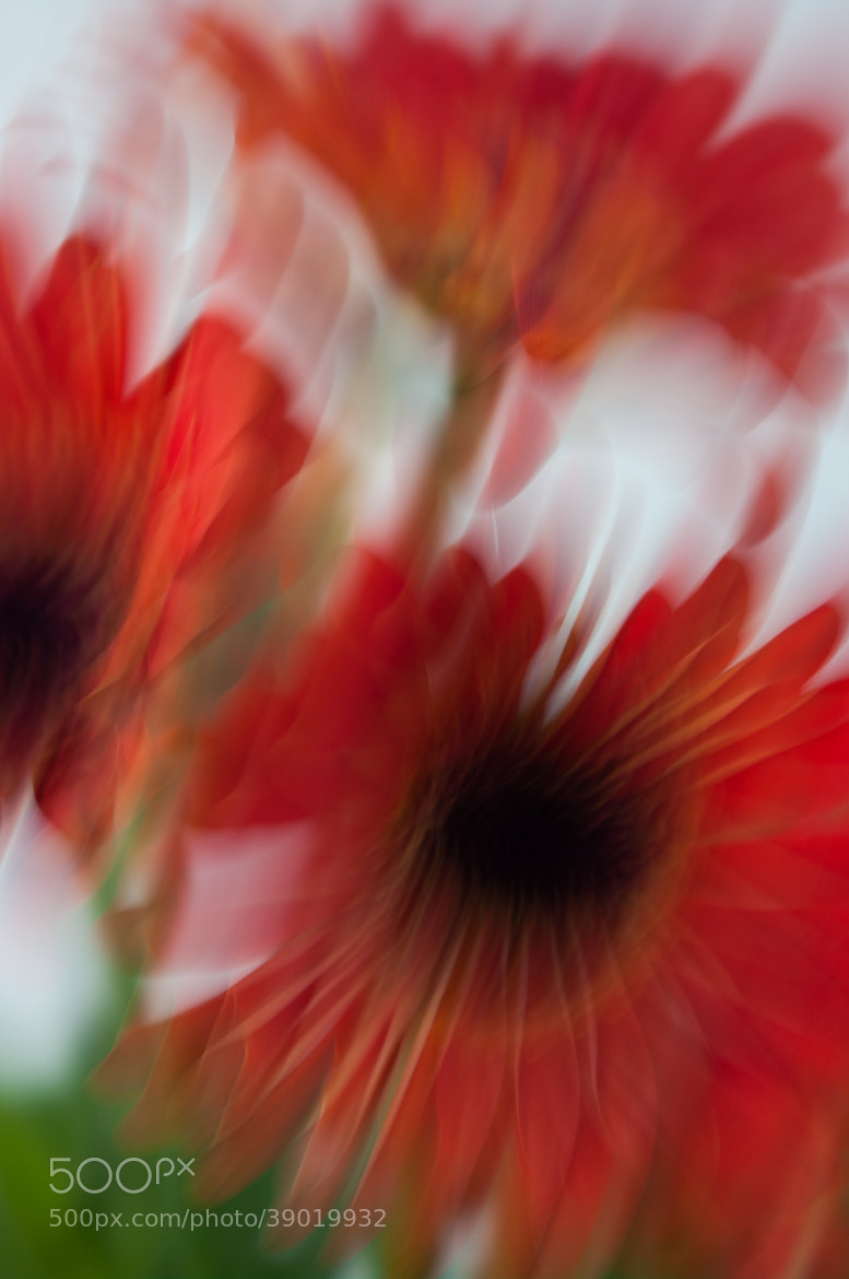 Photograph Zinnia Abstract by Mia Lisa Anderson on 500px