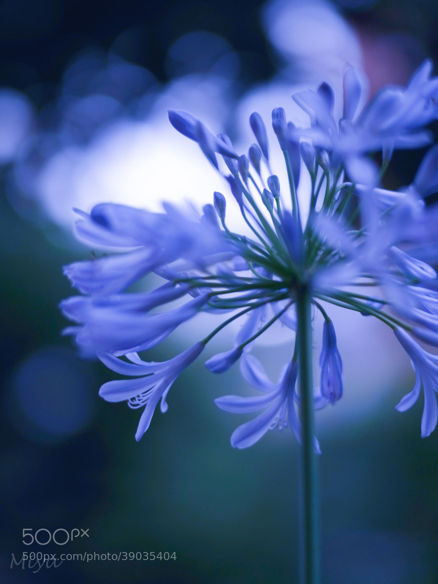 Photograph evening blue by Miyako Koumura on 500px